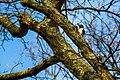 Red-headed woodpecker (33521250638).jpg