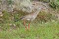 Red-legged Seriema (Cariama cristata) (29001102422).jpg