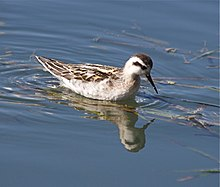 Red-necked Phalarope winter plumage.jpg
