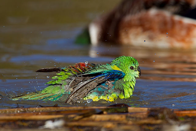 https://upload.wikimedia.org/wikipedia/commons/thumb/3/32/Red-rumped_Parrot_male_%28Psephotus_haematonotus%29_%289355933869%29.jpg/640px-Red-rumped_Parrot_male_%28Psephotus_haematonotus%29_%289355933869%29.jpg