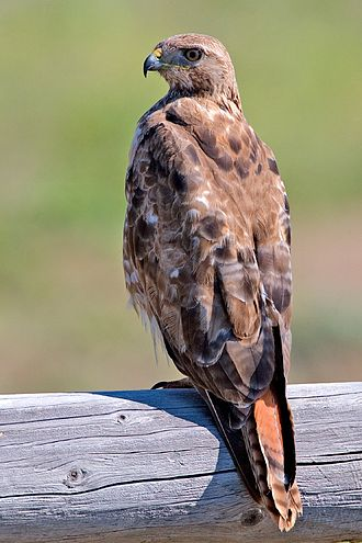 Hawk - A Red-tailed Hawk (Buteo jamaicensis) on perch