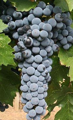 röda viner druvor