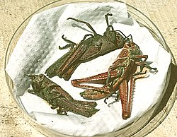 Red locust with Metarhizium.jpg