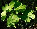 Redcurrant growing as an undershrub in Gunnersbury Triangle.jpg