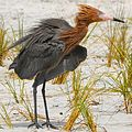 Reddish Egret at Fort De Soto Park - Flickr - Andrea Westmoreland.jpg