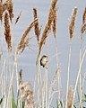 Reed Warbler 8 (3598111860).jpg
