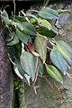 Restrepia guttulata (Orchidaceae) (49938542801).jpg
