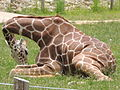 Reticulated giraffe seated.JPG