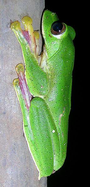 Rhacophorus malabaricus