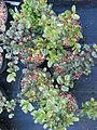 Rhamnus ilicifolia (17147048779).jpg