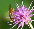 Rhingia rostrata (34159404963).jpg