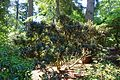 Rhododendron adenogynum - VanDusen Botanical Garden - Vancouver, BC - DSC06952.jpg