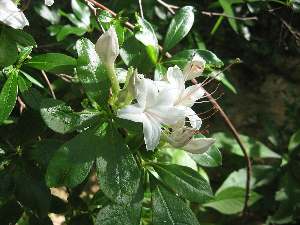 Rhododendron arborescens - Wikipedia