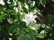 Rhododendron arborescens Cumberland Plateau.jpg