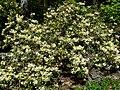 Rhododendron burmanicum 1.jpg