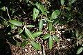Rhododendron minus - Arnold Arboretum - DSC06650.JPG