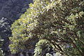 Rhododendron simiarum - Mount Sanqing 2015.09.08 10-10-15.jpg