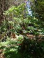Rhododendron sutchuenense - UBC Botanical Garden - Vancouver, Canada - DSC07983.jpg