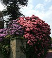 Rhododendrons - geograph.org.uk - 185228.jpg