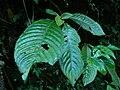 Rhynchotechum formosanum 蓬萊同蕊草的果實 8 (天問).jpg