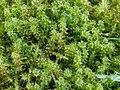 Rhytidiadelphus squarrosus 110399540.jpg