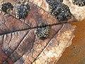 Rhytisma acerinum1.jpg