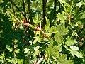 Ribes leptanthum 2017-05-23 0793.jpg