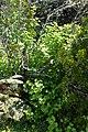Ribes nigrum kz2.jpg
