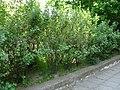 Ribesaurea6pl.jpg