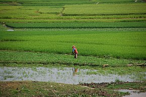 Ricefields in Takeo.jpg