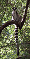 Ring-tailed Lemur (Lemur catta) 1.jpg