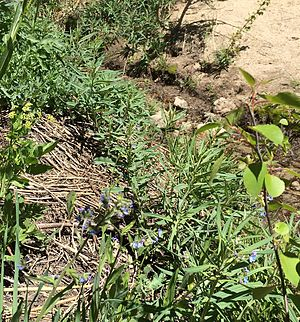 Incline Creek - Rivulet near the source of Incline Creek just above Tahoe Rim Trail east of Highway 431 with Jessica's stickseed (Hackelia micrantha) blue flowers.