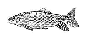 Moxostoma - Image: Robust redhorse FWS 1