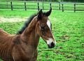 Rock of Gibraltar- Baralinka colt foal (7297515406).jpg