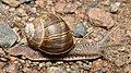 Roman Snail (Helix pomatia) - Oslo, Norway 2020-08-14 (04).jpg
