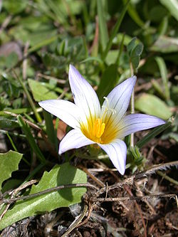 Romulea bulbocodium 1.jpg