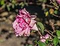 Rosa 'Madame Charles' 01.jpg