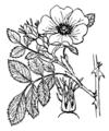 Rosa elliptica illustration (01).png