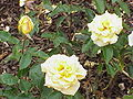 Rosa sp.211.jpg