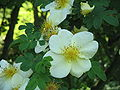 Rosa xanthina close-up.jpg