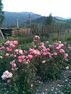 Rosales - Rosa cultivars 7 - 2011.07.11.jpg