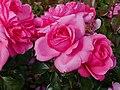 Rosarium Baden Rosa 'Berleburg' Poulsen 1996 02.jpg
