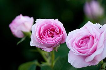 Rose, Gertrude Jekyll - Flickr - nekonomania (1).jpg