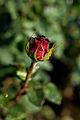 Rose, Lido di Roma - Flickr - nekonomania (4).jpg