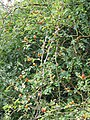 Rose-hips, Hinton St Mary - geograph.org.uk - 1465892.jpg