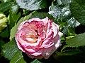 Rosengarten der Stadt Köln Rosa 'Eden 85' 2.jpg