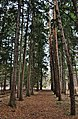 Rouge NUP Norway Spruce & Scots Pine path.jpg