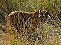 Royal Bengal Tiger (Panthera tigris tigris).jpg