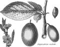 Rozier - Cours d'agriculture, tome 8, pl. 33, impératrice violette.png