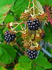 Ostružina černicová (černica) - zrelé (čierne) a nezrelé plody